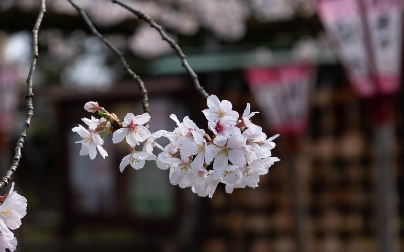 沼津日枝神社 2020年の桜