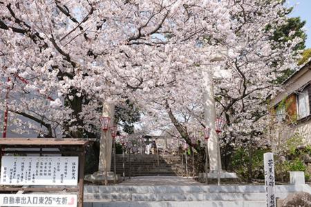 沼津日枝神社 境内の桜の様子をご案内します