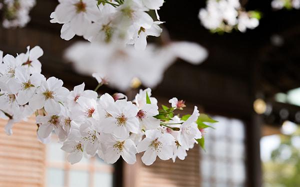 山王さんの桜