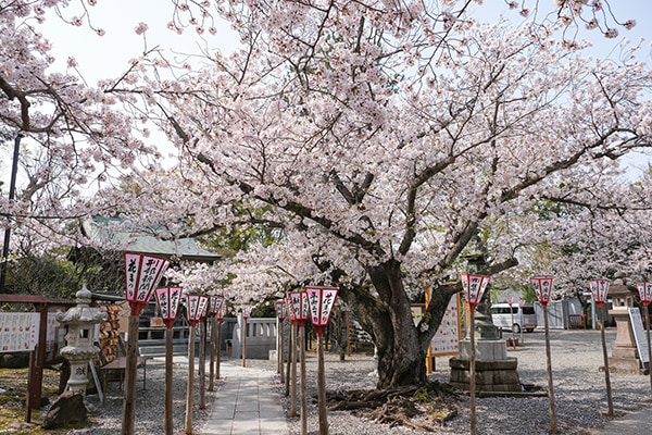 日枝神社境内の桜