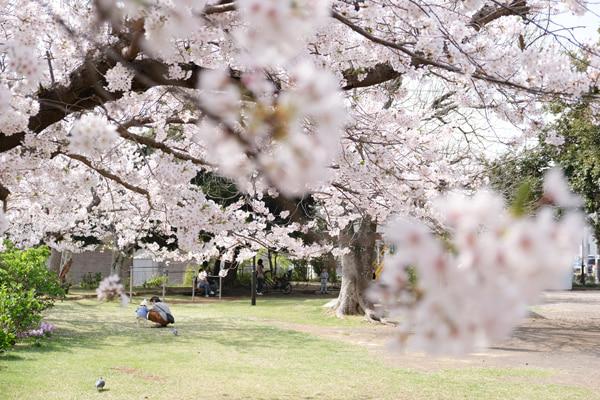 沼津日枝神社 山王公園の桜