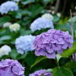 沼津日枝神社 境内の紫陽花